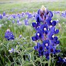 Bluebonnets - Texas State Flower by aprilann