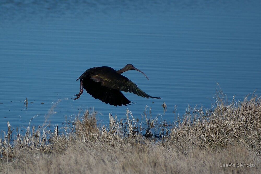 Take Off - White Faced Ibis by JasPeRPhoto