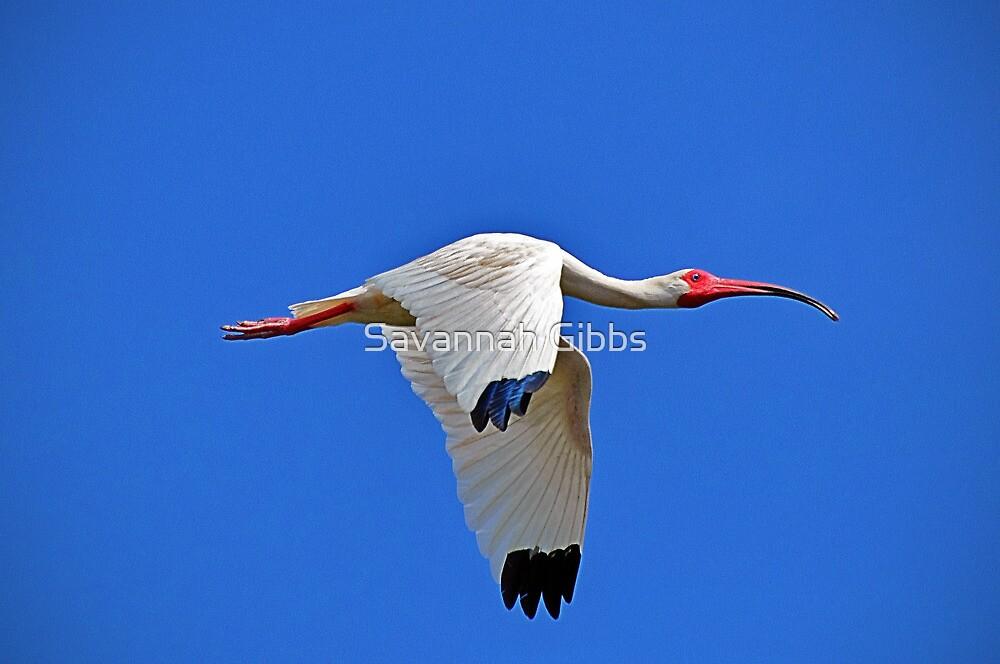 White Ibis by Savannah Gibbs