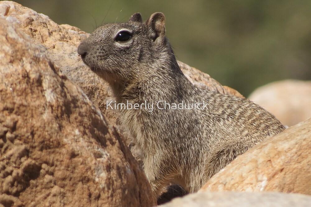 Rock Squirrel  by Kimberly Chadwick