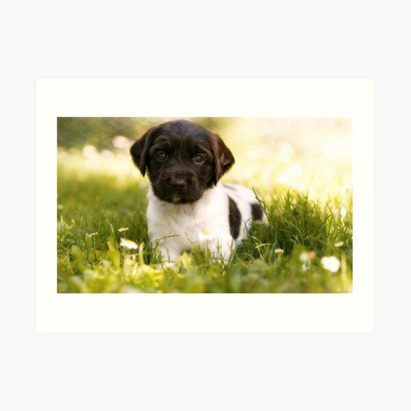 Small Munsterlander Puppy lying in Grass Art Print