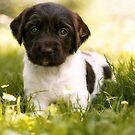 Small Munsterlander Puppy lying in Grass by birddog-media