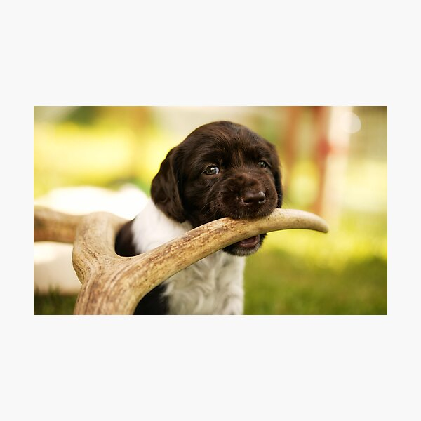 Small Munsterlander Puppy chewing on an Antler Photographic Print