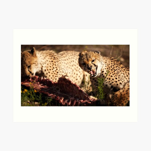 Group of Cheetahs fighting of Food Art Print