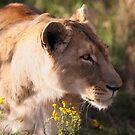 Lioness sneaking up by birddog-media