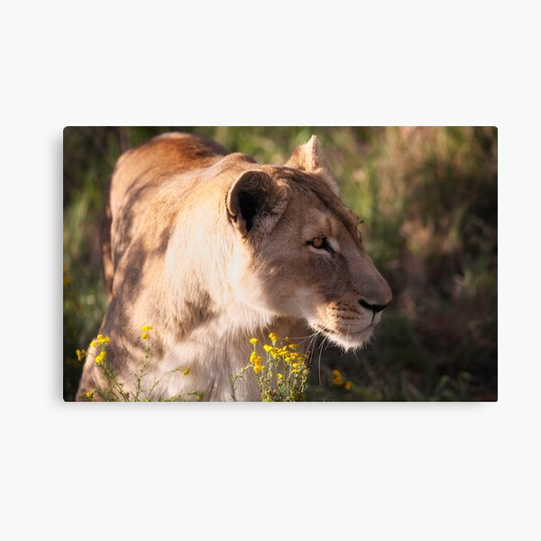 Lioness sneaking up Canvas Print