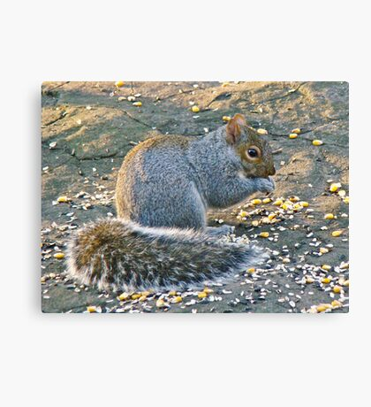 Grey Squirrel - Sciurus carolinensis Canvas Print