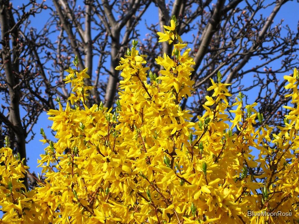 Golden Forsythia against a Cloudless Blue Sky von BlueMoonRose
