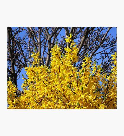 Golden Forsythia against a Cloudless Blue Sky Fotodruck