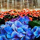 Blue Hydrangeas and Red Poinsettias  by KellyHeaton