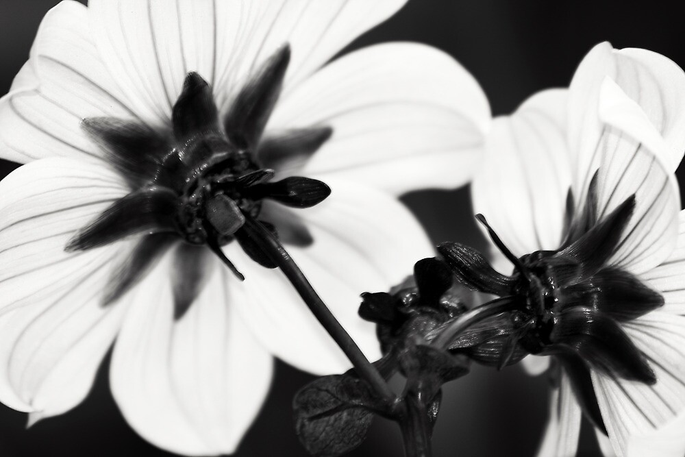 Black and White Dahlias by Erik Holt