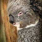 Sleepy Koala by Barbara Gordon