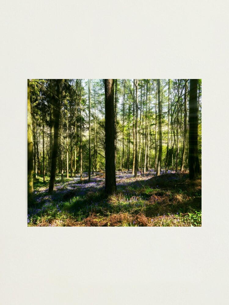 Alternate view of Bluebell Woods Photographic Print