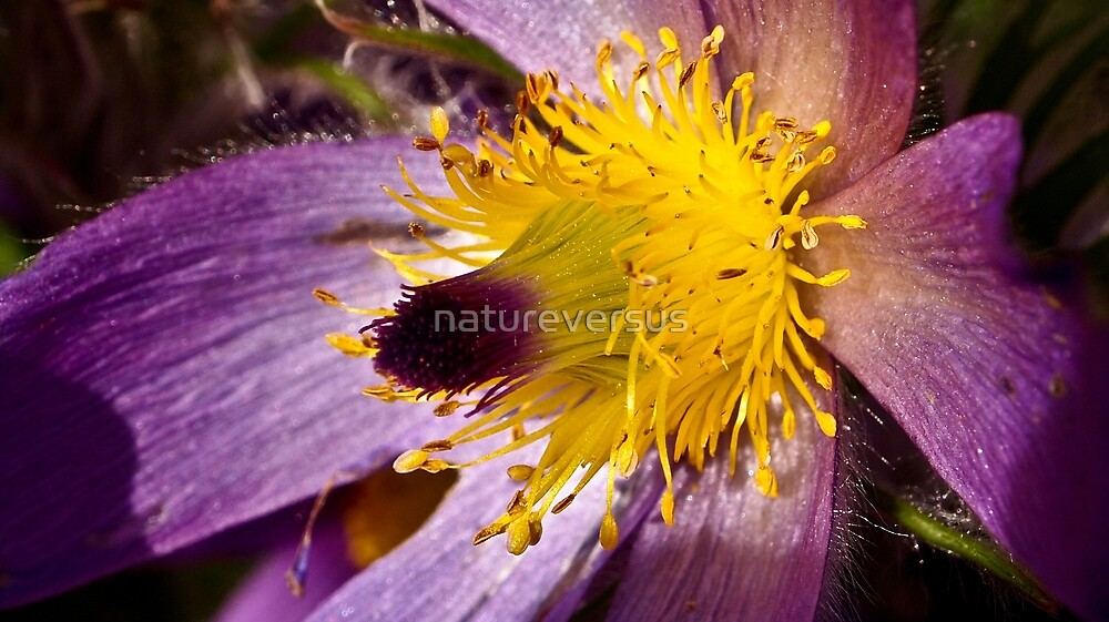 Pasque Flower by Deb Maidment