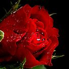 Red rose by PhotoTamara