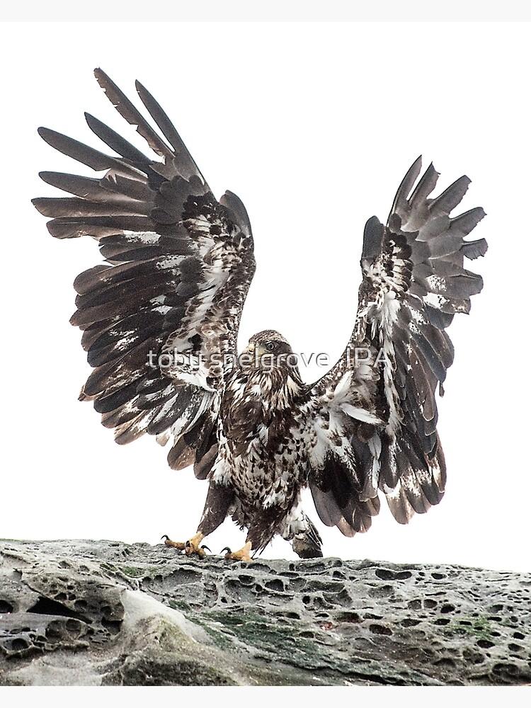 Immature Eagle, Belle Chain Islets by tobysnelgrove