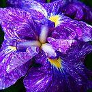 Iris © by Dawn Becker
