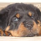 Adorable Rottweiler Puppy With Blue Eyes by taiche