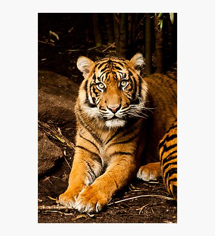 Tigers- Melbourne Zoo Photographic Print