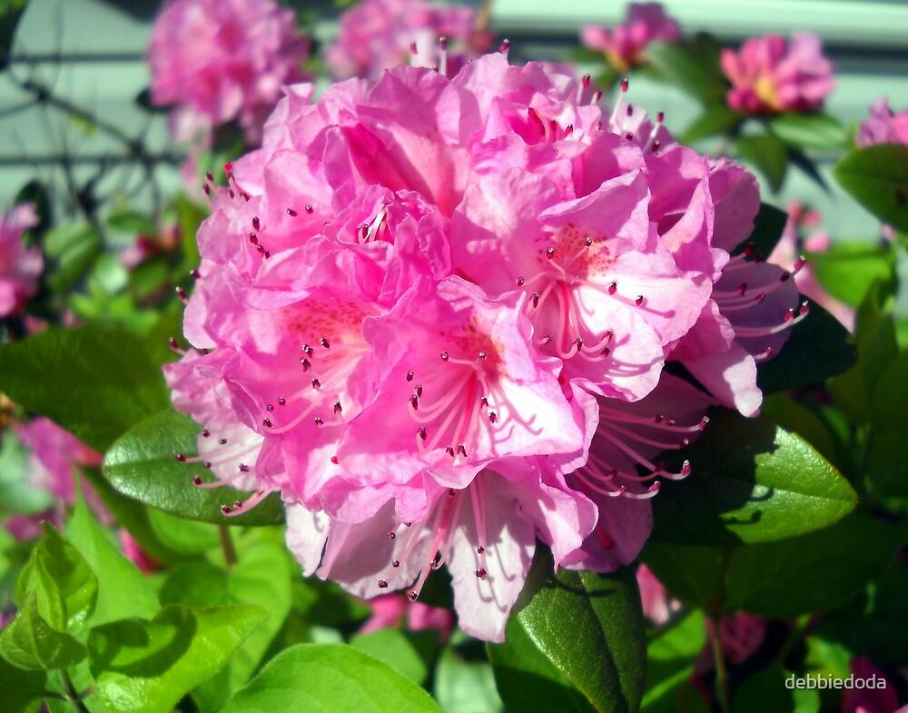 Rhododendron Blossom by debbiedoda