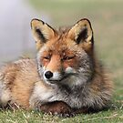 Red fox 3405 by DutchLumix