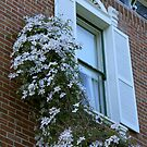 Clematis Climbing by teresalynwillis