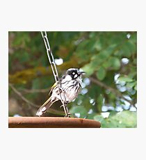 Juvenile New Holland Honeyeater loves the water too. Adelaide Hills.. Photographic Print
