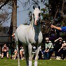 Purebred Arabians Stallion at Mulawa Stud  by SylanPhotos
