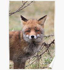 Red Fox 3358 Poster