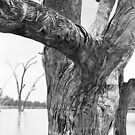 trunk detail, river red gum (River Murray) by Janine Paris