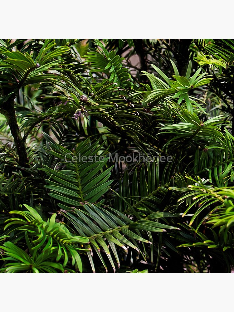 Wollemi Pine, the 'living fossil' tree of Australia by celestem