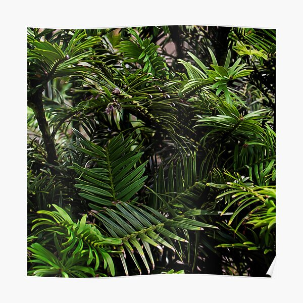 Wollemi Pine, the 'living fossil' tree of Australia Poster