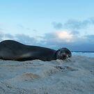 Sleeping Seal At City Beach by robertemerald