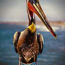 Plump Peter Pelican's Pier Photo Pose by Chris Lord
