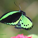 Male Cairns birdwing in flight by robmac
