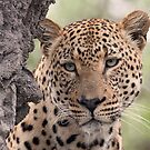 Dominant male leopard(please stop raining i can`t see even up here!) by Anthony Goldman