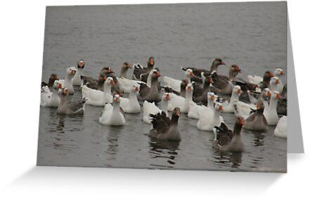 snow geese by ffuller