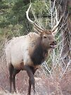 Rocky Mtn bull by Christine Ford
