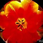 Look Into A Tulip by KRincker