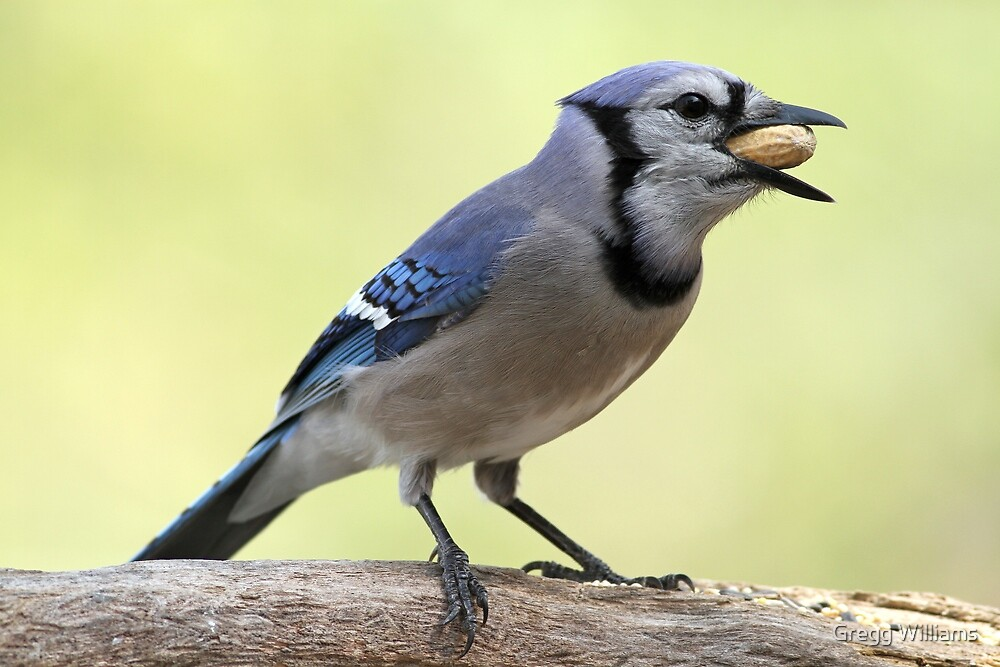 A Satisfied Blue Jay by Gregg Williams