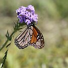 First Butterfly of Spring in Texas by April-in-Texas