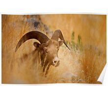 grassy sheep Poster