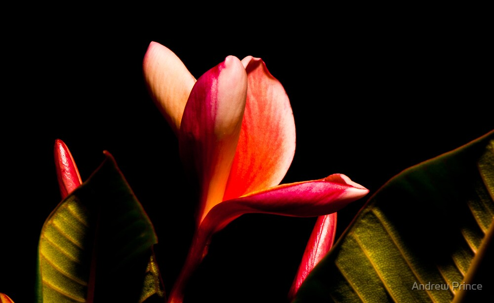 Out of the darkness. Frangipani by Andrew Prince