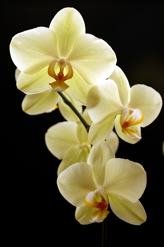 White Orchid by Lennox George