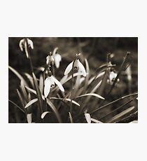 Snowdrops in Sepia Photographic Print