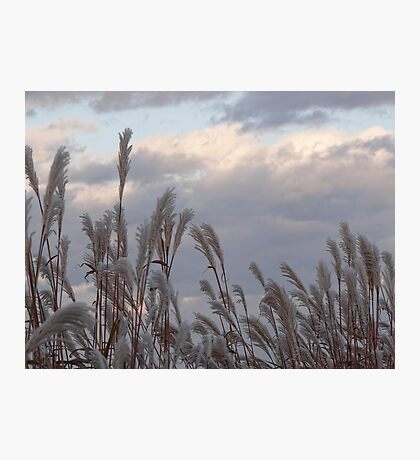 Grasses against the sky Photographic Print
