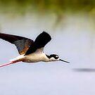 Fly Away, Black-Necked Stilt by SuddenJim