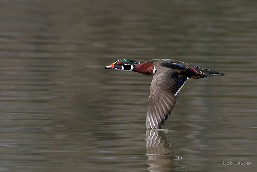 Wood duck by Rob Lavoie
