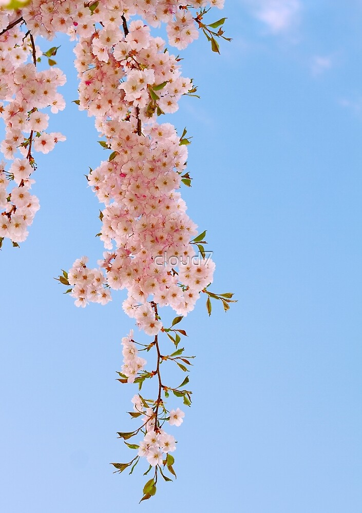 Cherry flowers and blue sky. by cloud7