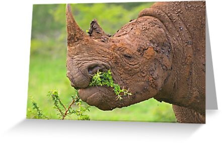 Black rhino - Imfolozi, South Africa by Explorations Africa Dan MacKenzie